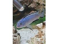 Psuedotropteus Socolofi - Powder Blue Cichlid for sale