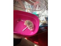 3 baby Russian hamsters with cage bargain £10 each