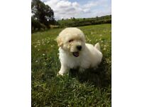 Fluffy Cavapoo Puppies For Sale