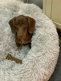 Gorgeous Miniature Dachshund Puppy for reluctant sale