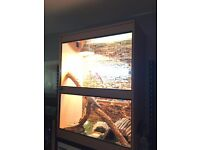 Two adult Bearded Dragons with Full Setup