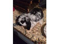 2 rabbits 1 male (nurtured) 1 female