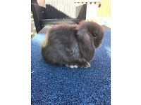 Mini lop buck chocolate