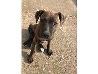 American Bulldog Puppy Male