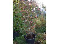 Photinia red robin large plant instant hedge, screen