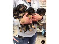 Yorkshire Terrier Teddy Bear Puppies for sale - ready to go 4 boys, 1 girl - Rochdale