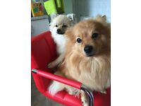 Pomeranian Puppies for sale £750