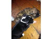 staff puppies