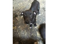 Lovely Lurcher puppies for sale