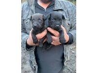 Patterdale fell terrier girl puppies