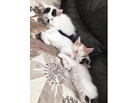 4 female & 2 male kittens