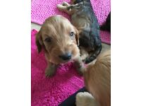 F1 Cockapoo Puppies for Sale