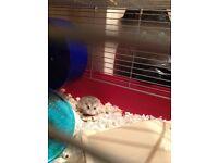 Snowdrop the Roborovski Hamster