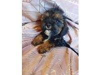 F1 SHIH POO PUPPIES READY NOW