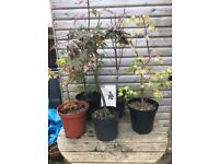 5 Garden Maples - not grafted