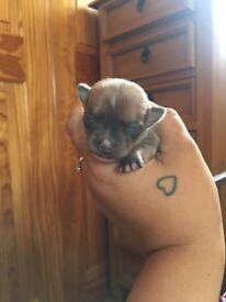 Blue fawn chihuahua pup