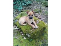 Beautiful and very cute 5 month old Jackhuahua puppy girl - Jack Russell x Chihuahua