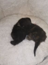 Ery cute black and ginger kitten Available to reserve