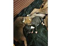 Staffy/mastiff x american bulldog
