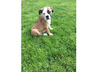 Lovely English Bulldog x Boxer puppy is ready for her new home