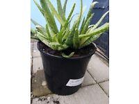 Large Aloe Vera plant