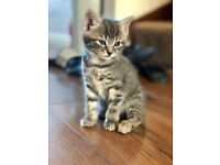 Rare Short hair Grey and White Stripy Fluffy Kitten