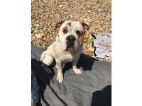 British bulldog x sharpei