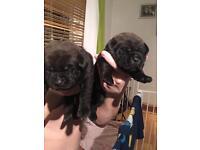 Shar pei x spaniel puppies