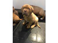 Douge De Bordeaux Stunning Big Boned Puppies