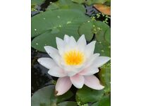 GARDEN POND LILY/LILIES - 8 PLANTS PRICE PER PLANT - WHITE