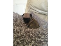Kc registered Male fawn pug puppie ..ready to go to there new homes now.