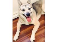 Lost Missing Grey/White Husky