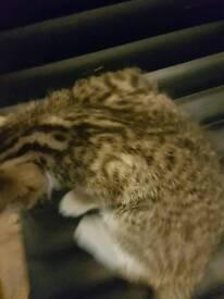 Kitten £100 cute