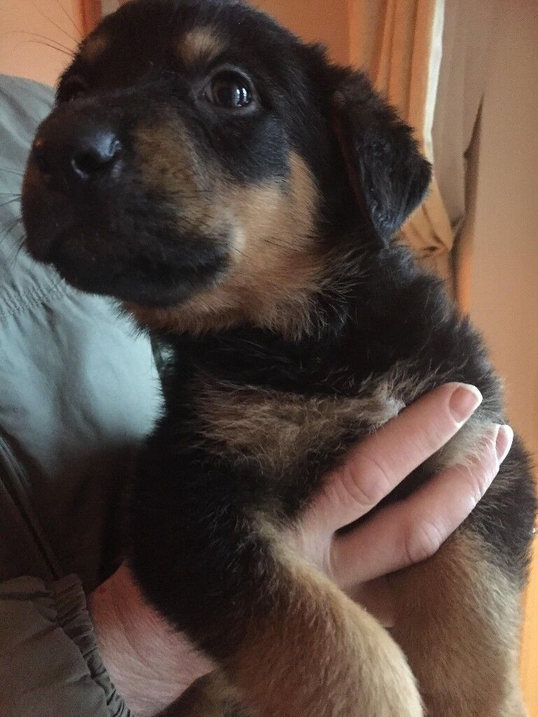 German Shepweilier Pup Loving Adorable Looking Forever Home