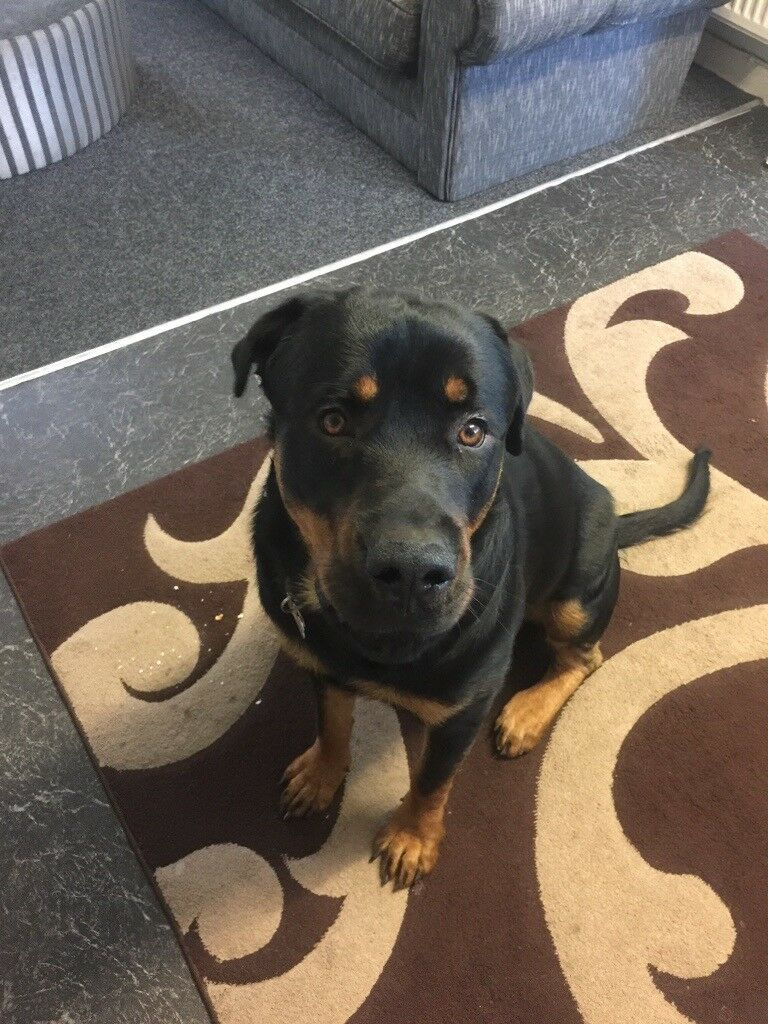 Rottweiler Boy In Pontypool Torfaen Gumtree