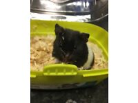 Syrian hamster for sale