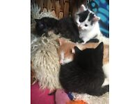 10 Week old kittens ready for there new homes... Adorable kittens!