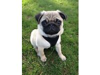 Kc Pug Boy, offers invited, health checked & microchipped