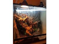 Chinese water dragon set up