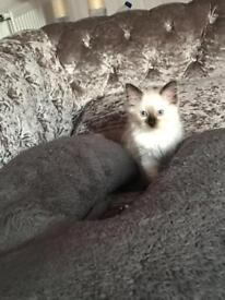 Full pedigree seal point ragdoll kittens available now