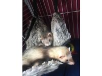 2 lovely ferret with big cage 🐾