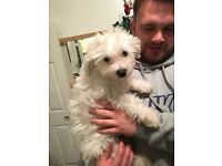 Adorable 14 week old male bichon frise puppy