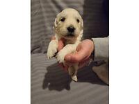 10 Stunning Golden Retriever Puppies