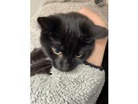 3 month old black kitten