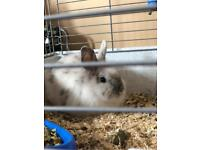 6mth old boy dwarf rabbit and cage