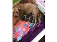 Staffy x bullmastiff puppies (JUST FEMALES LEFT)
