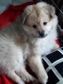 Beautiful Pomeranian pedigree puppies ready now with papers 3 girls 1 boy