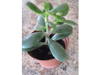 INDOOR PLANT - MONEY PLANT