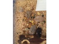 Baby Russian dwarf hamsters £5 each