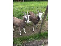 She goats